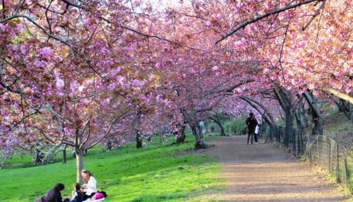 ニューヨークの桜 セントラルパーク